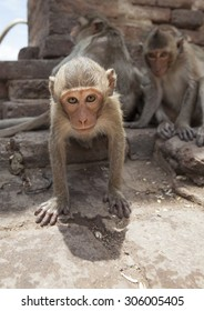 Curious young Macaque staring at the camera