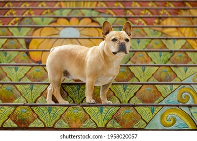 Curious Young Male Tan Frenchie standing on mosaic tiled staircase in Northern California