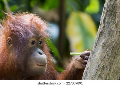 Curious young orangutan inspecting a stick