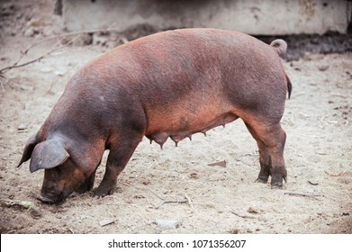 Curious young pig of Duroc's breed in yard. Concept of small swine farms in southern Russia