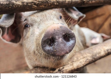 Curious young pig in a wooden stable on an organic farm