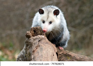 curious young possum on a log
