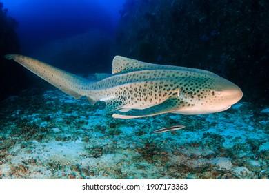 A curious Zebra Shark (stegostoma fasciatum) on a deep, underwater tropical reef.
