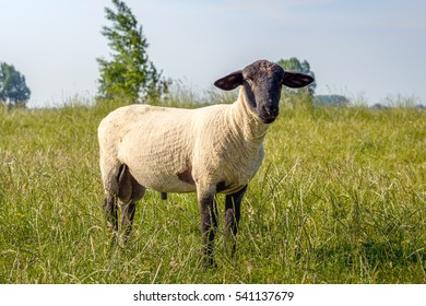 Curiously looking and grass eating freshly shorn Suffolk ram in the grass of the slope of an embankment on a sunny day in the Dutch summer season.