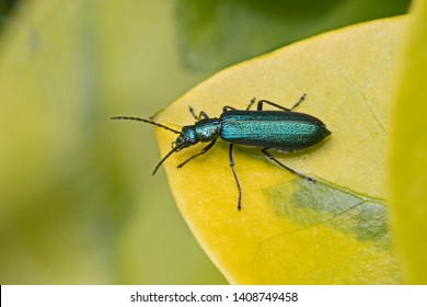 Blister Beetles Images, Stock Photos & Vectors | Shutterstock