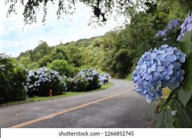 Paraná/ Curitiba/ Brazil -December 29 2017:  gracious road adorned with the flowers of hortencias by its curves