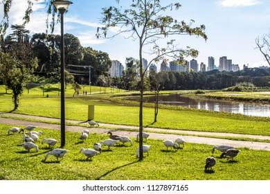 Curitiba, Parana, Brazil, January 31, 2017. Duks on Grass in Barigui Park, Curitiba city