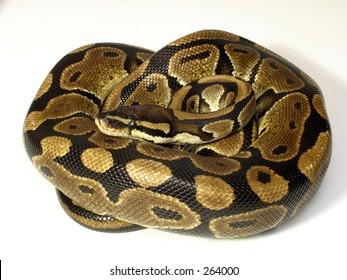 Curled Ball python