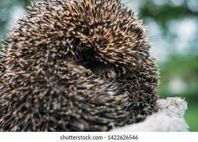 Curled European forest hedgehog outside