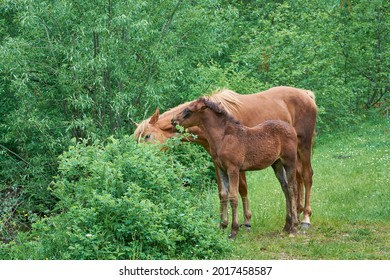A curled mare with a cute little foal. Mother's love, a touching scene from the life of animals