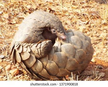 Curled up Pangolin peeking