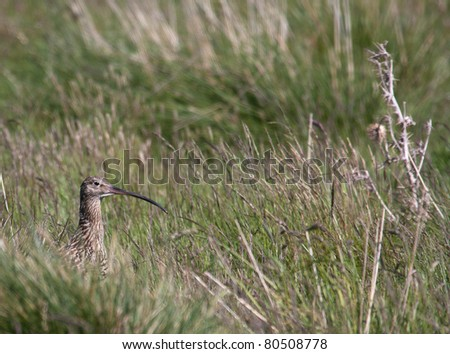 A Curlew bird hiding  in a field in the Scottish highlands UK