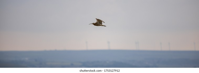 Curlew in flight on the Yorkshire moors