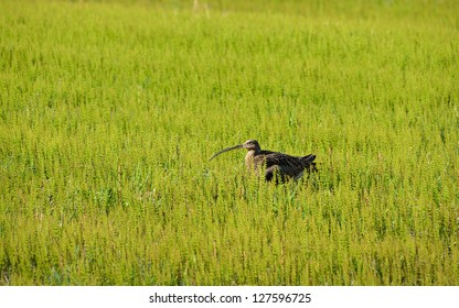 Curlew hiding in the grass, Troms Norway