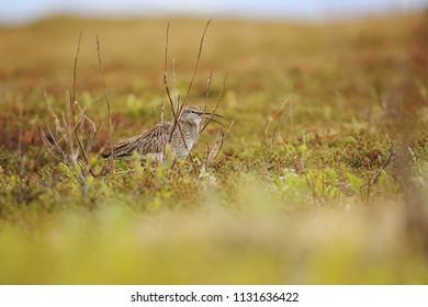 Curlew on island Vasdo