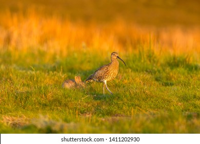 Curlew (Scientific name: Numenius arquata) Adult curlew in the Yorkshire Dales, UK , at daybreak with rabbit in the background.   Facing right.  Landscape, Horizontal, space for copy.