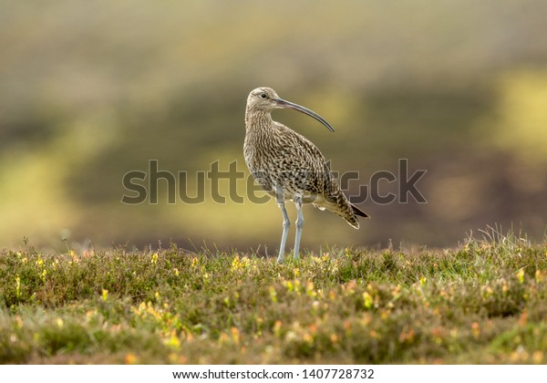 Curlew (Scientific name: Numenius arquata) Adult curlew, an upland bird, in natural habitat on moorland in Yorkshire, England, UK during the nesting season. Horizontal.  Space for copy.