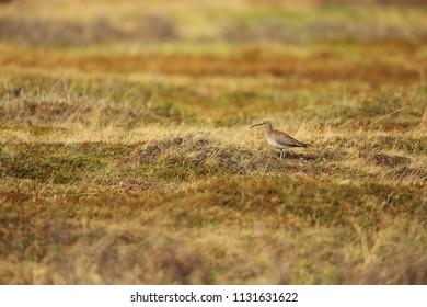 Curlew in tundra