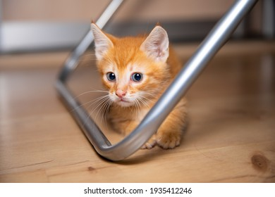 Curly cat tries to hide from you under the chair.