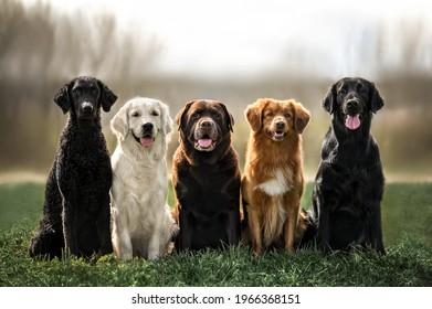 curly coated retriever, golden retriever, labrador, nova scotia duck tolling retriever and flat coated retriever dogs sitting together outdoors