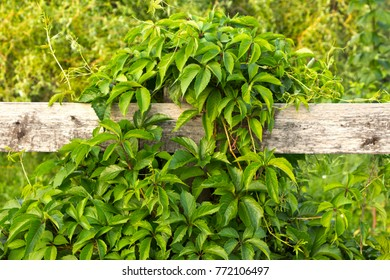 Curly green bush wraps a wooden fence