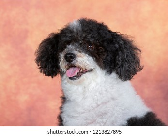 Curly haired dog portrait. Image taken in a studio with brown and orange background.