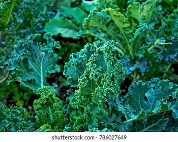 Curly kale on natural organic soil. The kale is a winter vegetable capable of withstanding the cold and is one of the healthiest vegetables that exist.