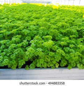 Curly leaf parsley, up close in a field, in metal shape in a greenhouse