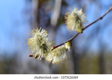 Curly locks willow - Latin name - Salix caprea Curly locks