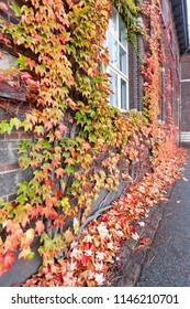 Curly on the wall Maiden grapes five-leaf (Latin Parthenocíssus quinquefolia) in autumn
