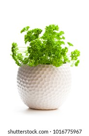 Curly  parsley herbs in pot isolated on white background