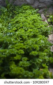 Curly parsley - homemade vegetable