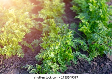 Curly parsley vegetable bed garden with beautiful sunlight.