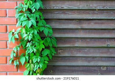 Curly Parthenocissus on the background of a wooden fence with brick pillars