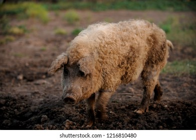 Curly pig of Hungarian breed Mangalitsa goes on a meadow