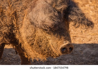 Curly pig of Hungarian breed Mangalitsa. mangalitsas curly hair hogs. Mangalica a Hungarian breed of domestic pig on the farm