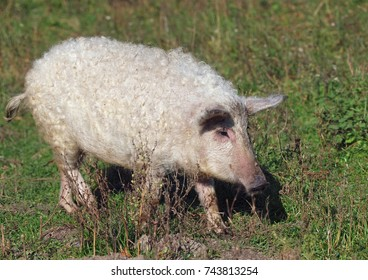 Curly pig of Hungarian breed Mangalitsa on a natural vegetable background