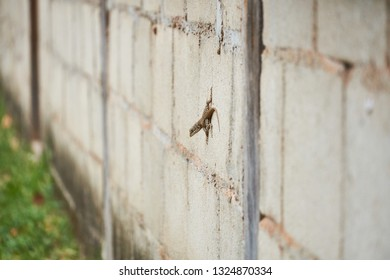 Curly Tailed Lizard, A bahamian curly-tailed lizard on concrete wall