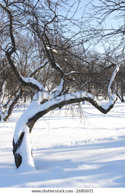 Curly Tree under Snow at Winter Solar Day