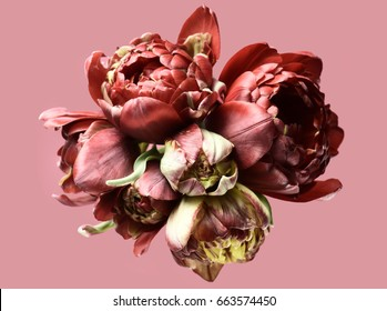 Curly tulips on a pink background. Isolated composition.