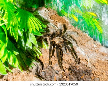 Curlyhair tarantula on the ground