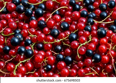 Currant black and red. Berries background. Fresh organic currant from village garden. Currant organic berries. Ecological berries for desserts, smoothie or jam.