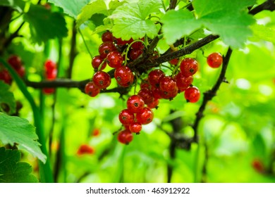 Currant bush with bunches of ripe red currants. Shallow depth of field.