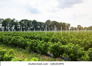 Currant bushes planted in even rows in the field. Ecological fruit plantation concpet