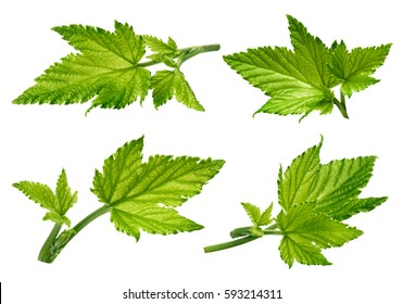 Currant leaf collection isolated on white background Clipping Path