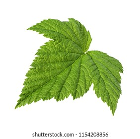 Currant leaf isolated on white background Clipping Path