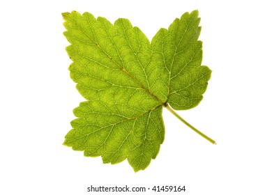 Currant leaf on isolated