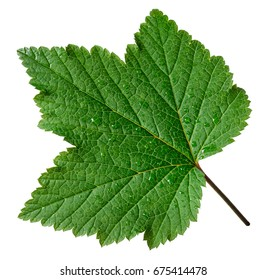 Currant leaf on white background