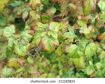 Currant leaves affected by iron deficiency disease