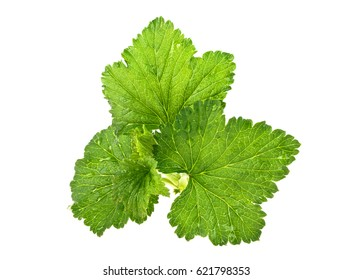Currant leaves isolated on white background